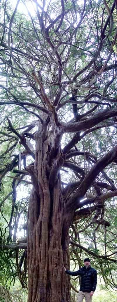 md-and-tall-yew-tree